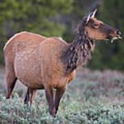 Munching Elk Grand Teton National Park Art Print