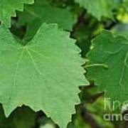 Muscadine Leaves Art Print
