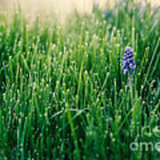 Muscari Or Grape Hyacinth Art Print