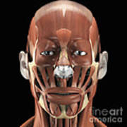 Muscles Of The Face Art Print
