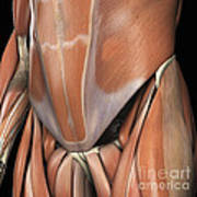Muscles Of The Lower Abdomen Art Print