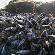 Mussels On A Rock Art Print