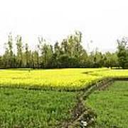 Mustard Fields In Kashmir On The Way To The Town Of Sonamarg Art Print