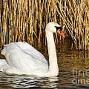 Mute Swan By Reed Beds Art Print