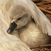 Mute Swan Cygnet Under Wing Art Print