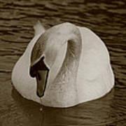 Mute Swan - In Sepia Art Print