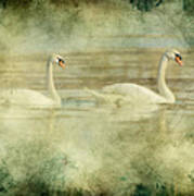 Mute Swan Pair Art Print