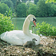 Mute Swan Parent And Chicks On Nest Art Print by Konrad Wothe