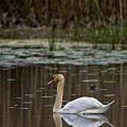 Mute Swan Pictures 143 Art Print