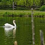 Mute Swan Pictures 195 Art Print