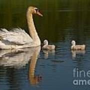 Mute Swan Pictures 244 Art Print
