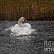 Mute Swan Pictures 97 Art Print
