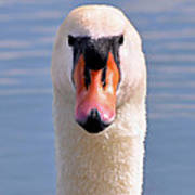 Mute Swan Staring Art Print