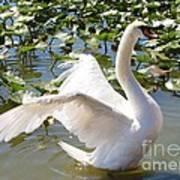 Mute Swan Wings Art Print