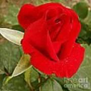 My Favorite Rose Art Print