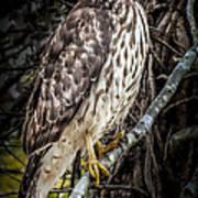 My Hawk Encounter Art Print