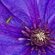 My Old Clematis Home Art Print by Kristi Swift