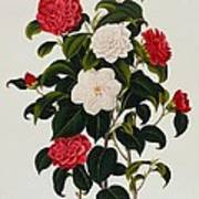 Myrtle Leaved Camellia Art Print