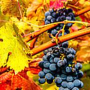 Napa Valley Grapes, California Art Print