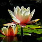 Napa Water Lilies 003 Art Print