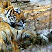 Naptime For A Bengal Tiger Art Print