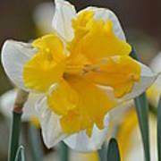Narcissus 014-2 Art Print