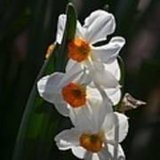 Narcissus Evening Glow Art Print