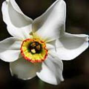 Narcissus I Art Print by Aya Murrells