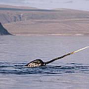 Narwhal Surfacing Baffin Isl Canada Art Print