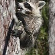 Nasty Raccoon In A Tree Art Print