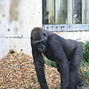 National Zoo - Gorilla - 121242 Art Print by DC Photographer