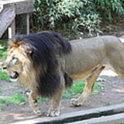 National Zoo - Lion - 011311 Art Print by DC Photographer