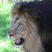 National Zoo - Lion - 011312 Art Print by DC Photographer