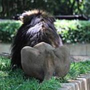 National Zoo - Lion - 011314 Art Print