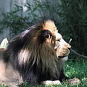 National Zoo - Lion - 011318 Art Print