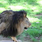 National Zoo - Lion - 01135 Art Print