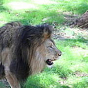 National Zoo - Lion - 01136 Art Print by DC Photographer