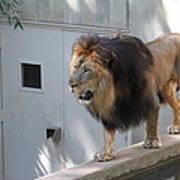 National Zoo - Lion - 01138 Art Print