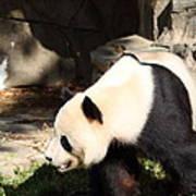 National Zoo - Panda - 011321 Art Print