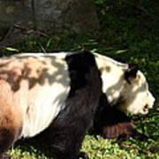 National Zoo - Panda - 011328 Art Print