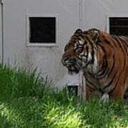 National Zoo - Tiger - 011323 Art Print