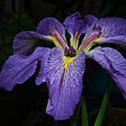 Native Louisiana Iris Art Print