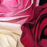 Natural Roses Art Print