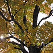 Natural Sunburst Through Autumn Tree Art Print