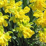 Naturalized Daffodils On The Farm Art Print
