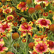 nature - flowers -Blanket Flowers Six -photography Art Print