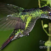 Nectar Feeding Hummingbird Art Print
