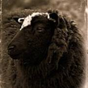 Nellah The Shetland Sheep  Art Print