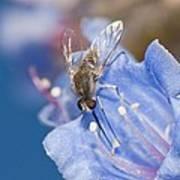 Nemestrinid Fly Feeding Art Print