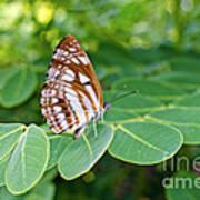 Neptis Hylas / Common Sailer Butterfly Art Print